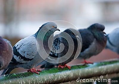 Pigeons on railings