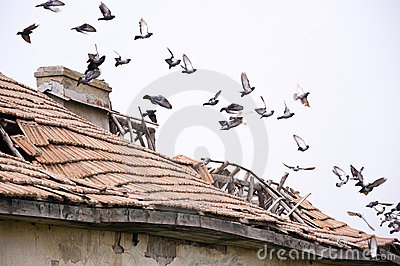 Pigeons on ruined house