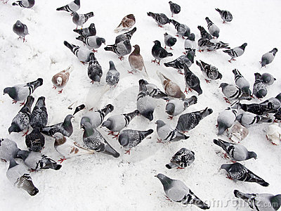 Pigeons in snow