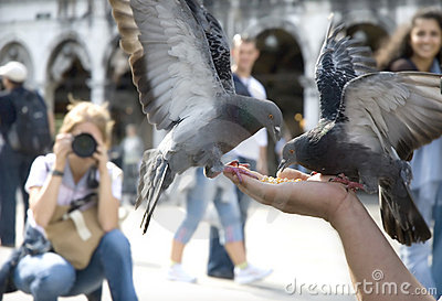 Pigeons of st. marco