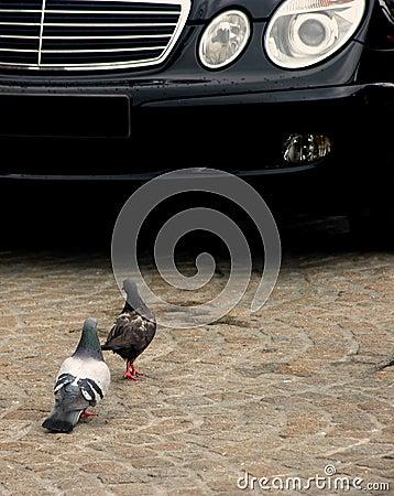 Pigeons Vs. Car