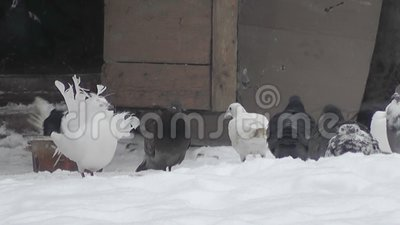 Pigeons in the winter yard. Urban scene stock video
