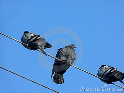 Pigeons. Wires.