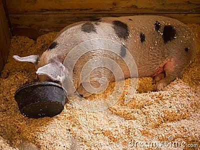 Pigging Out