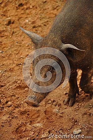 Piglet wildboar
