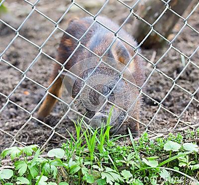 Piglets desire