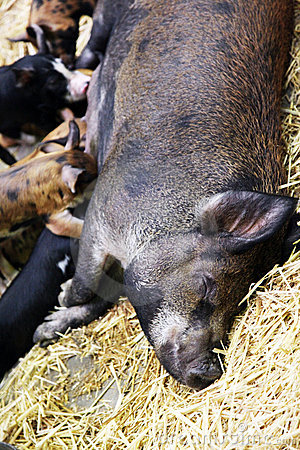 Piglets feeding on large pig