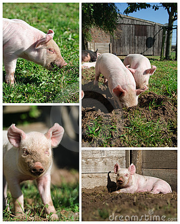 Piglets high resolution compilation