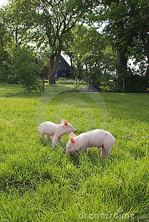Free Piglets In Meadow Stock Images - 9456884