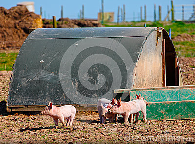 Piglets on pig farm