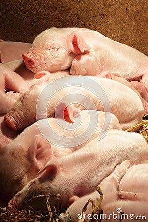Free Piglets Sleeping Royalty Free Stock Photo - 18202365