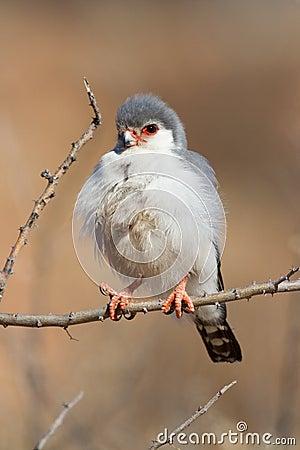 Pigmy falcon portrait