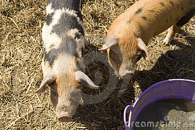Pigs at feeding time