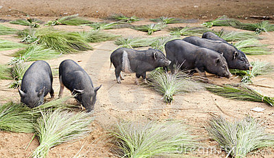 Pigs grazing through handmade brooms