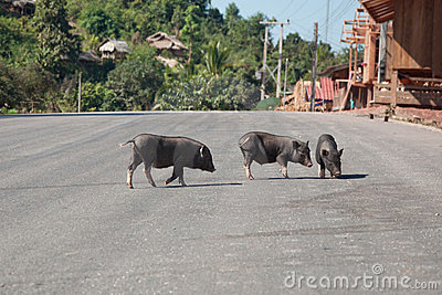 Pigs on the Road