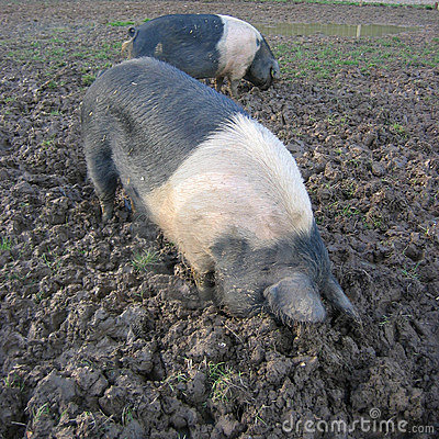Pigs Rooting Stock Photos Image 1014873