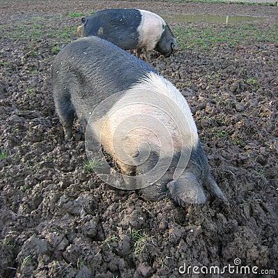 Pigs rooting