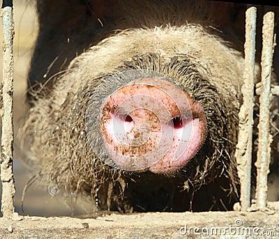 Pigs Snout in Sun