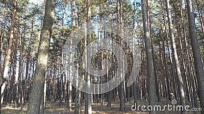 Pijnboombos voor bosbouw in de herfst, langzame camerapan van onder naar boven met blauwe hemelachtergrond en daglicht stock video