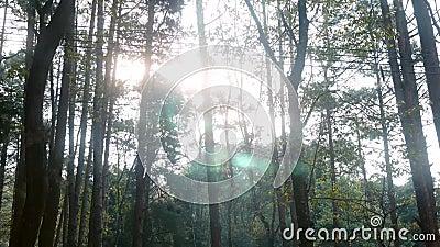 Pijnbos met zonneschijn in een levendige ochtend, zonnestralen spelen in de takken van bomen Natuurlandschap met zonlicht in Thai stock video