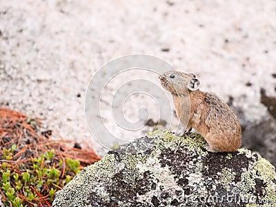 Pika (Ochotona Alpina)