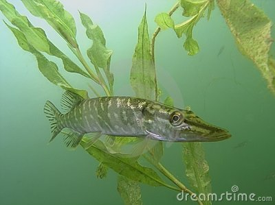 Pike Stock Photography - Image: 6723452