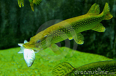 Pike fish feeding