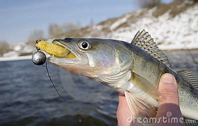 Pike fish with lure in mouth
