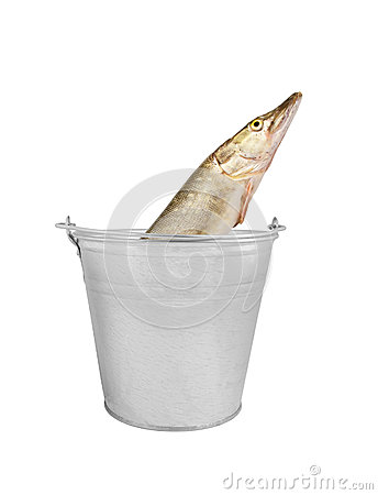 Pike fish in metallic bucket isolated