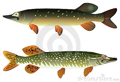 Pike fish and spotted pike fish.