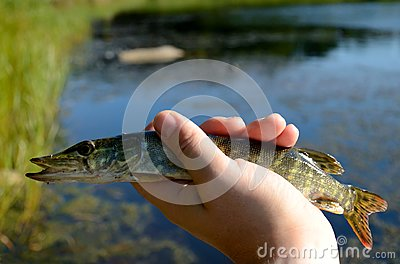 Pike in the hand