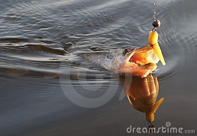 Pike on hook in water