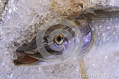 Pike on ice