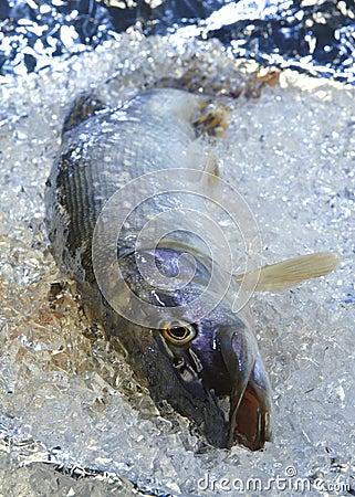 Free Pike On Ice Stock Photos - 3245343
