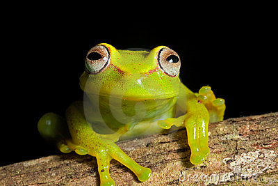 Piękni Amazon drzewnej żaby jaskrawy żywi kolory