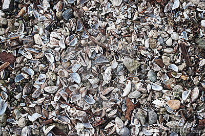 Pile of Blue Mussel shells