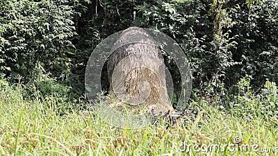 Pile d'herbe sèche dans un domaine vert frais contre le contexte de la forêt banque de vidéos