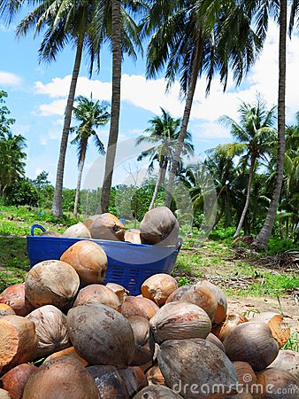 Pile of dried coconuts