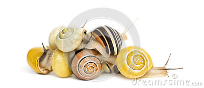 Pile of Grove snails or brown-lipped snails, Cepaea nemoralis