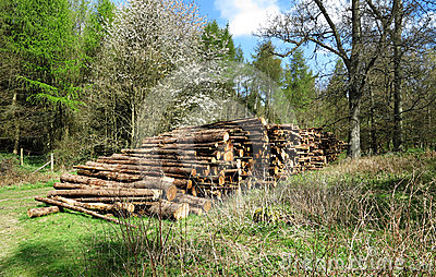 A Pile of Logs on a woodland Clearing