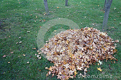 A pile of parasol tree leaves