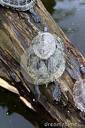 Pile of turtles