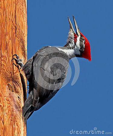 Free Pileated Woodpecker Stock Photography - 30340242