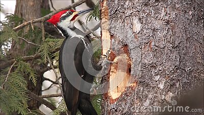 Pileated Woodpecker Forages For Food. A male pileated woodpecker forages for food by pecking at a tree trunk in Ottawa, Ontario, Canada stock video