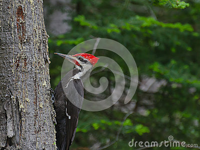 Pileated Woodpecker in forest