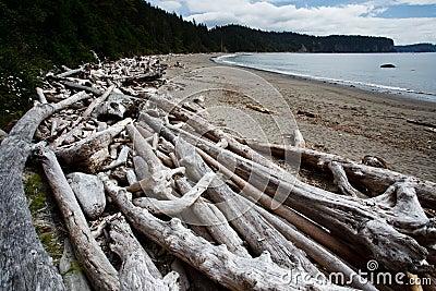 Piles of dead driftwood trees litter the beach