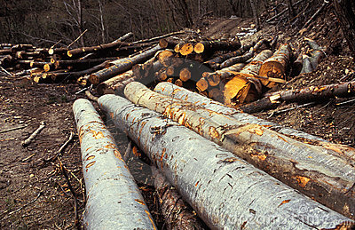 Piles of logs in forest