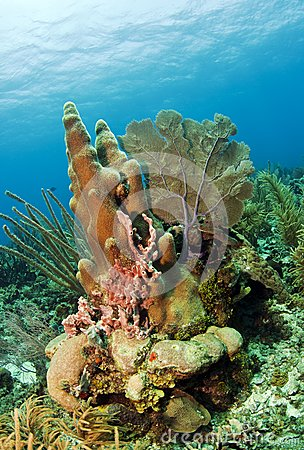 Pillar coral off the Coast of Roatan Honduras