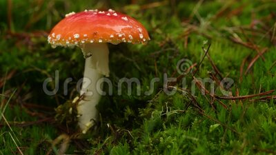 Pilze, Amanita-Pilze, mit Fliege und Regentropfen stock video