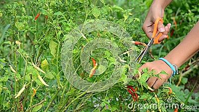 Piment thaïlandais de récolte de femmes au jardin clips vidéos